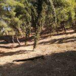 έκταση καθαρισμένη από ξερά κλαδιά